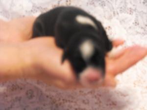 puppy3Pandora24hrs