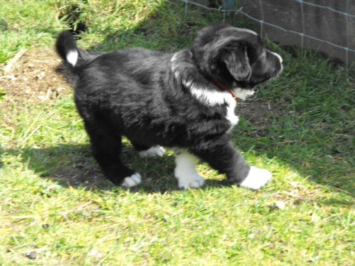 Theo 6 weeks - look how he carries his tail.