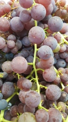 grapeglenoraripe
