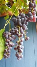 grapepurple